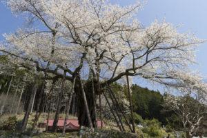 南部町本郷の先年桜