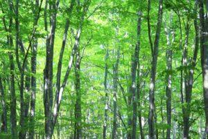 丹波山村の木ブナ