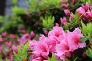 阪南市の花サツキ
