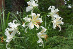 道志村の花ヤマユリ