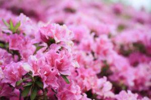 岬町の花ツツジ