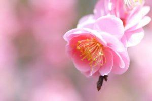 泉南市の花ウメ