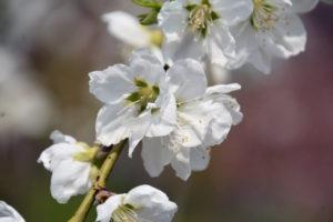 揖斐川町の花ハナモモ