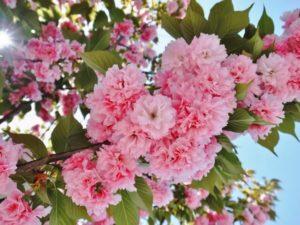 三宅町の花八重桜