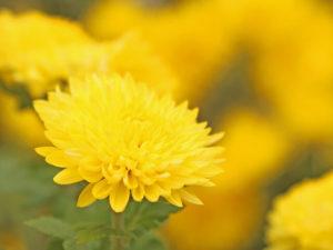 生駒市の花キク2