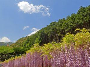 丹波市に咲く藤の花