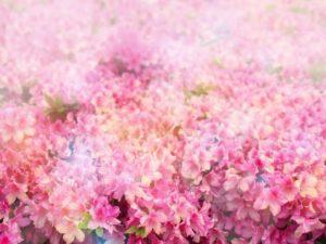 豊郷町の花ツツジ