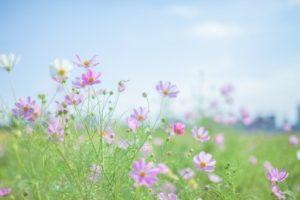 相生市の花コスモス