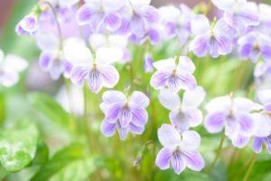 香芝市の花スミレ2
