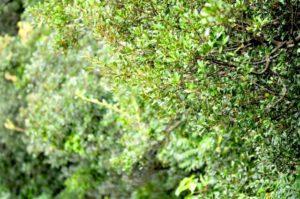 豊郷町の木ウバメガシ