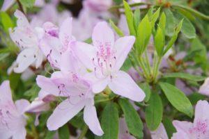 三木市の花サツキ