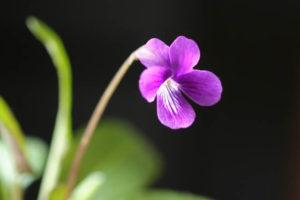 香芝市の花スミレ
