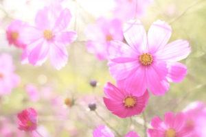 川西町の花コスモス