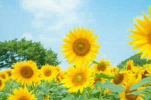 市川町の花ヒマワリ