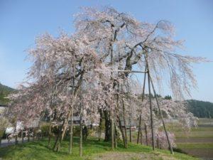 甲賀市の信楽町畑のしだれ桜
