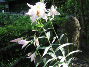 多可町の花ササユリ