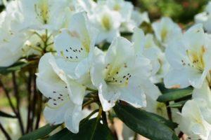 日野町の花シャクナゲ