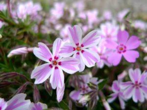 西脇市の花シバザクラ