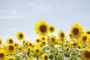 小野市の花ひまわり