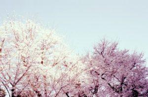 愛荘町の花さくら