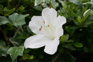 三田市の花サツキ