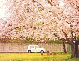 大和高田市の桜