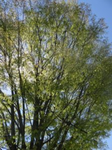 川西町の木ケヤキ