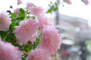 葛城市のの花キク