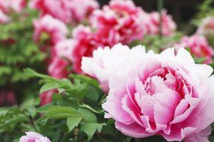 葛城市の花ボタン