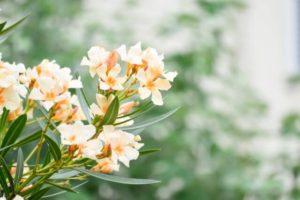 尼崎市の花キョウチクトウ