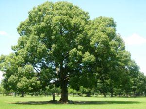 市川町の木カシ