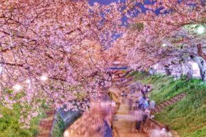 大和高田市大和桜
