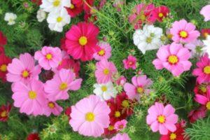 稲美町の花コスモス