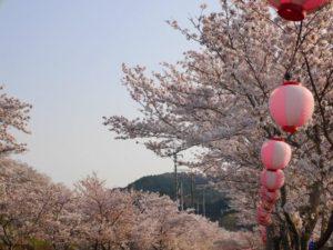 猪名川町の桜並木