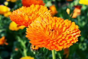 栗東市の花キンセンカ