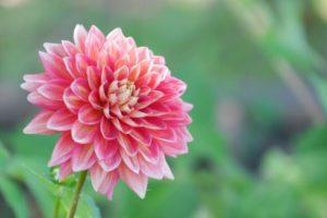 上郡町の花ダリア