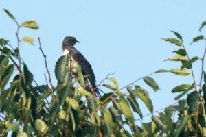 上北山村の鳥ホトトギス