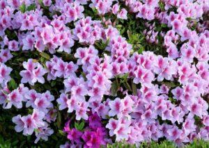 京田辺市の花ヒラドツツジ