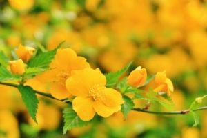 井手町の花ヤマブキ