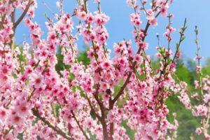 紀の川市の花モモ