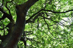広川町の木アラカシ