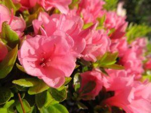 久御山町の花サツキ
