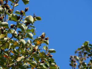 御坊市の花木ハマボウ