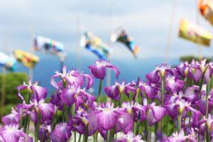 城陽市の花花菖蒲