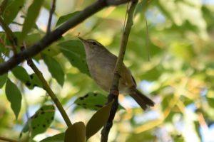 笠置町の鳥ウグイス