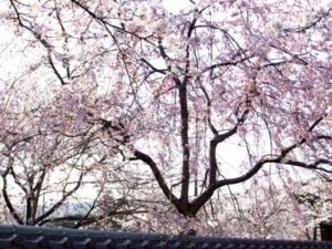 岩出市根来寺の枝垂れ桜