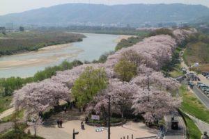 八幡市の背割り桜