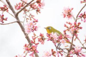 大山崎町の鳥ウグイス