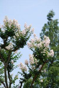 下北山村の木トチノキ