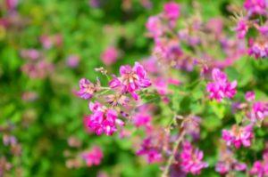 日高町の花ハギ